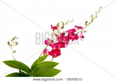 Tallos de orquídeas tropicales magentas contra blanco.