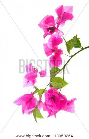 Branch of pink tropical Singapore bougainvillea flower, isolated with copyspace