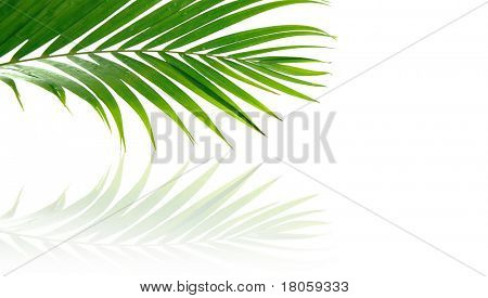 Tropical palm fronds against white backdrop with reflection.