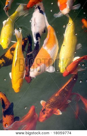 Beautiful mature Koi carp swimming in a tropical pond