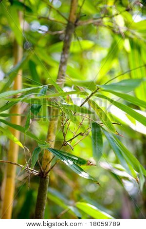Tall bamboo shrubs in tropical botanical gardens