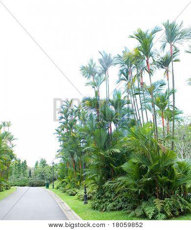 Beautiful tropical palm lining a walking path in a botanical garden