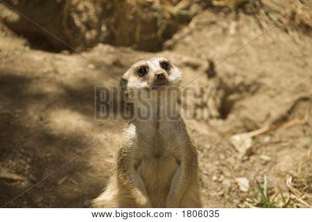 Meerkat Keeping Guard