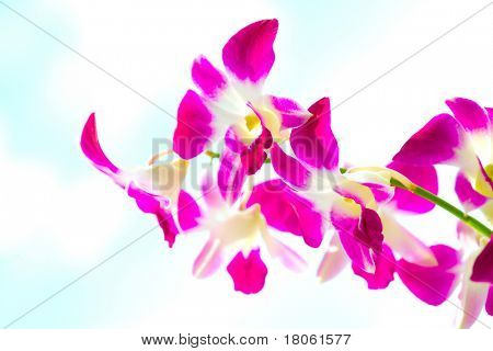 Closeup of red dendrobium orchid outdoor