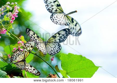Swarm of Paper Kite butterfly also known as '' ''Idea leuconoe '' enjoying nectar from bright flower