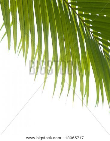 Palm fronds against white background.