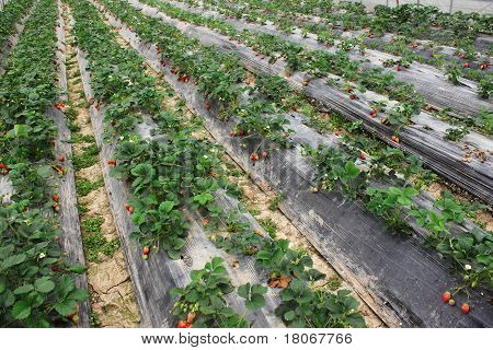 strawberry farm field