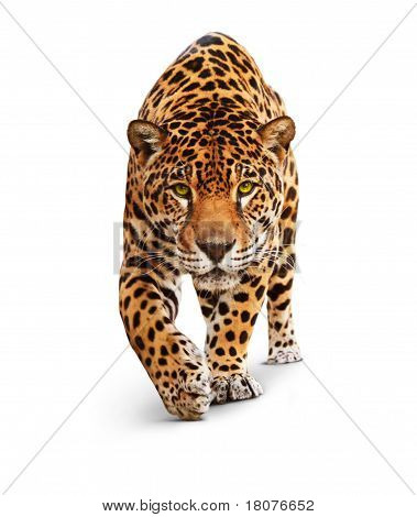 Jaguar - Vorderansicht, isolated on white, shadow