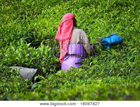 Woman picking tea leaves in a tea plantation - Munnar, Kerala, India