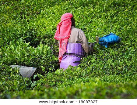 Frau pflücken der Teeblätter in einer Teeplantage - Munnar, Kerala, Indien