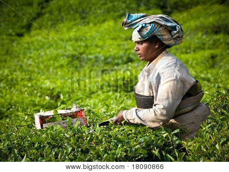MUNNAR, INDIA - DECEMBER 7: An unidentified woman picks tea leaves on a tea plantation on December 7, 2010 in Munnar, Kerala, India Munnar is best known as India's tea capital.