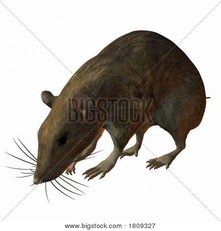 Rat Taste