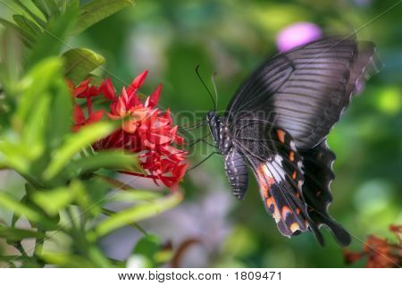 Vibrating Butterfly (Pachliopta Aristolochiae)
