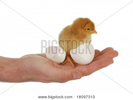 newborn chick - hand holding newborn chick on white background