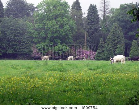 Cows In Summertime