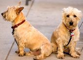 picture of scottie dog  - two scotty type dogs male and female sitting on the sidewalk in small town america - JPG