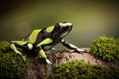 Tropical poison dart frog from the Amazon rain forest in Colombia. Dendrobates auratus a macro of a  poster