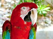 picture of king parrot  - king parrot portrait - JPG