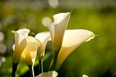 stock photo of arum lily  - Close up Calla Lily with black background for background use - JPG