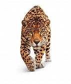 Jaguar - front view, isolated on white, shadow