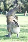 picture of baby animal  - Kangaroo with Joey in Pouch Scratching Herself - JPG
