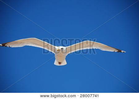 Seagull in flight against a blue sky background at Folkestone in Kent, England.