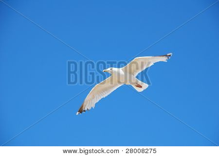 A seagull in flight against a blue sky in Folkestone, Kent.