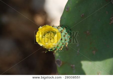 The yellow flower of a prickly pear cactus plant growing in Emborio on the Greek island of Halki.