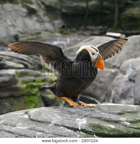 Tufted Puffin, And Pigeon Guillemot