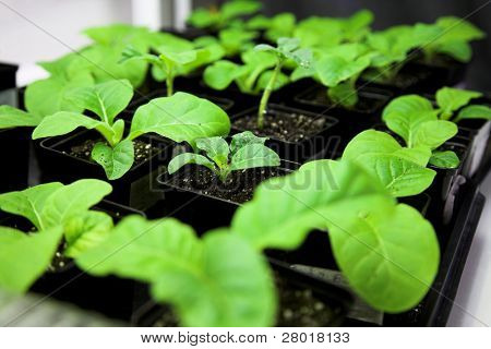 Scientific laboratory growing tobacco. selection for transgenic plant