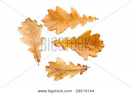 Oak autunm leaves isolated on white