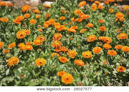 Bright bed with orange flowers in southern park