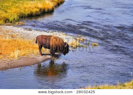The bison drinks water in well-known Yellowstone national park