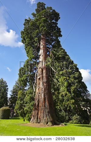 Magnificent huge tree in palace park of the Spanish kings