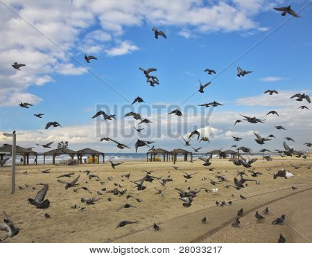 Quay of Tel-Aviv. The flight pigeons was flied on sand of a beach to peck a forage