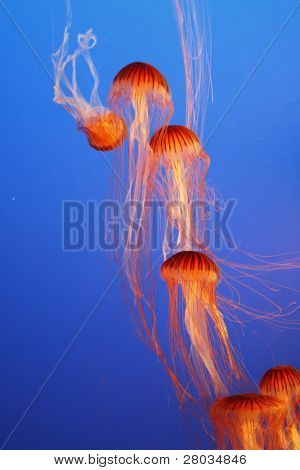 Orange decorative jellyfishes in an aquarium water park of Vancouver