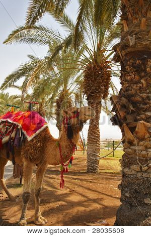 Oasis in desert. A camel in a red body cloth