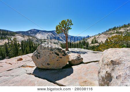 El pequeño pino se ha convertido en una piedra en las montañas. Parque de Yellowstone, Pase Tioga