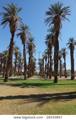 Avenue in the palm grove in the oasis Furnace Creek in Death Valley