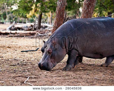 Hippo  .