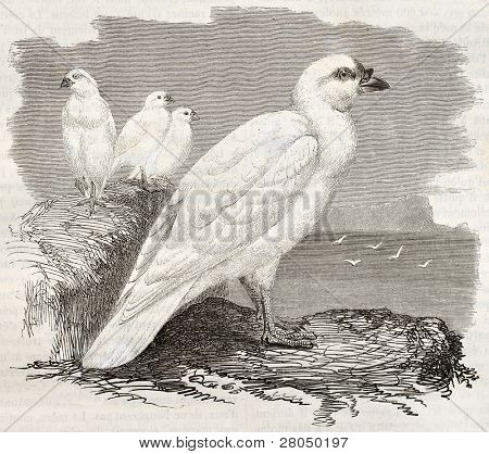 Snowy Sheathbill old illustration (Chionis albus). Created by Kretschmer and Illner, published on Merveilles de la Nature, Bailliere et fils, Paris, ca. 1878