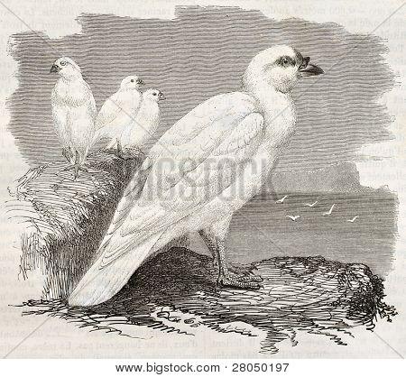 Snowy Sheathbill old illustration (Chionis albus). Created by Kretschmer and Illner, published on Merveilles de la Nature, Bailliere et fils, Paris, ca. 1878