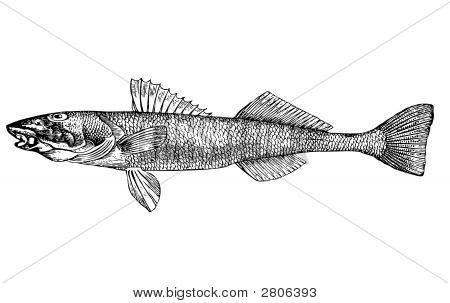 Fish Aspro Zingel (Latin) Illustration.