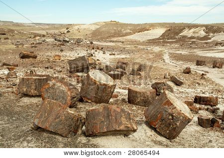 petrified wood sections