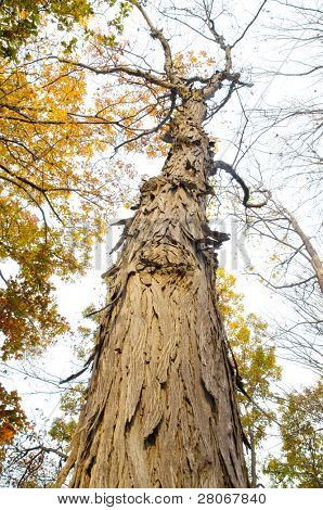 shag bark hickory tree and jagged bark