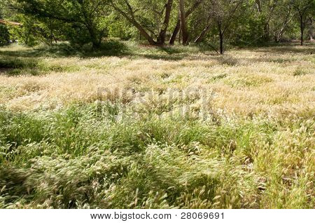 green plants and cottonwood trees in the desert