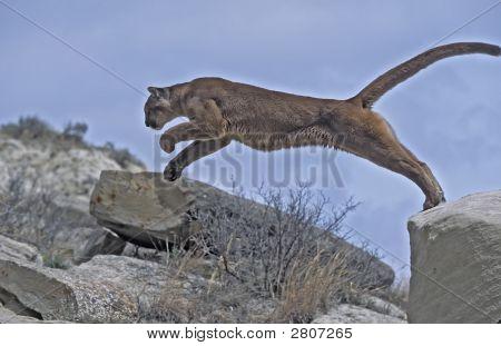 Cougar Leap