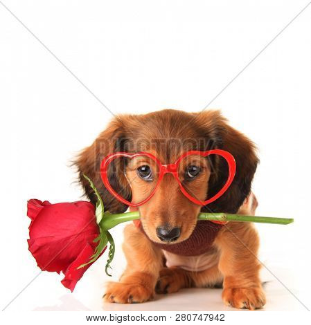 poster of Longhair dachshund puppy dog, studio isolated on white wearing heart shaped Valentines day eyeglasse