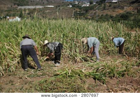 An Agriculturist Group Cutting The Corn Plant