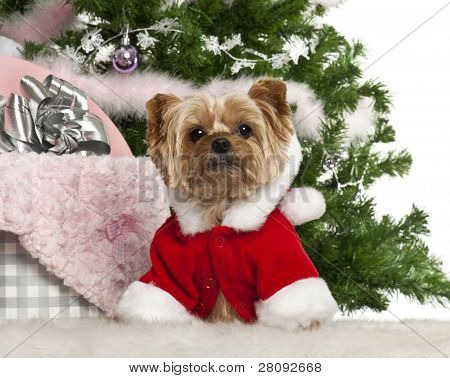 Yorkshire Terrier, 7 years old, with Christmas gifts in front of white background